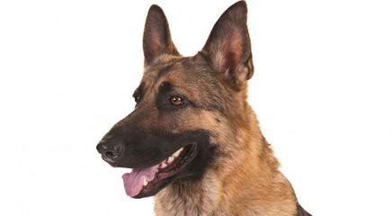 VOM PANTHEON HAUS GERMAN SHEPHERDS - Dog Breeders