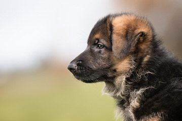 ALLE STERNE HAUS GERMAN SHEPHERDS - Dog Breeders