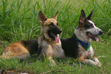 Coastal Roots German Shepherds - Dog and Puppy Pictures