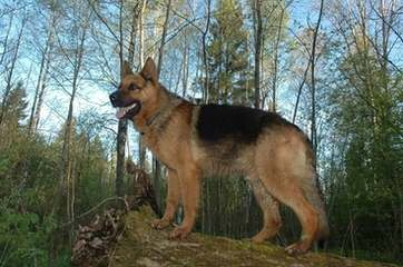 Sotto German Shepherds - Dog Breeders