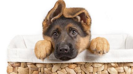 Rallhaus German Shepherds - Dog Breeders