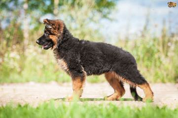 Seelenvoll German Shepherds - Dog Breeders