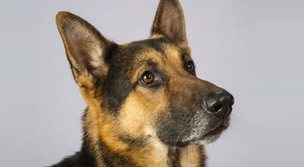 Gallant Edge German Shepherds - Dog Breeders