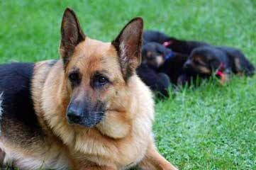 TORI ALLE STERNE GERMAN SHEPHERDS - Dog Breeders