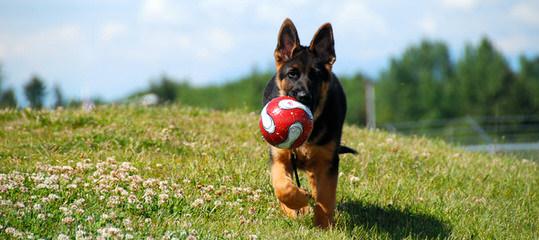 Duglands German Shepherds - Dog Breeders