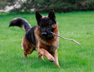 Working German Shepherds - Dog Breeders