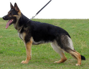 Ekhota German Shepherds - Dog Breeders