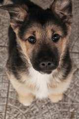 Big Red Texas German Shepherds Ranch - Dog Breeders