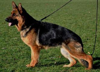 von Tajgetosz working German Shepherds - Dog Breeders