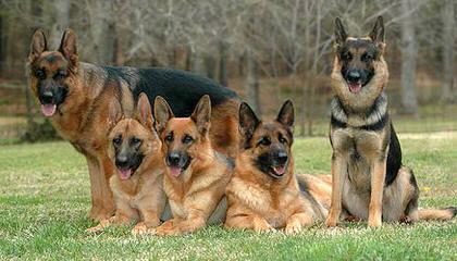Vom Birkenhof Shepherds - Dog Breeders