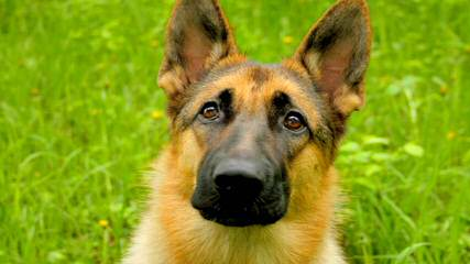 Halo German Shepherds - Dog Breeders