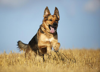 Dixieland German Shepherds - Dog Breeders