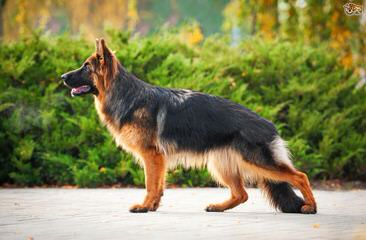 German Shepherd - Dog Breeders