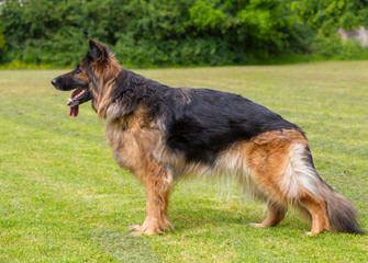True Blue German Shepherd Dogs - Dog Breeders