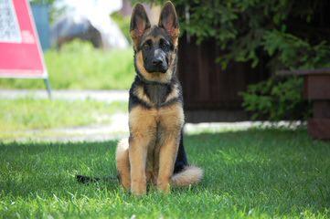 Dixieland German Shepherds - Dog Breeders