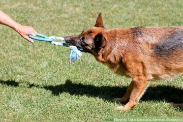 True Blue German Shepherd Dogs - Dog Breeders