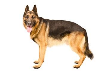 BIGDADDY K9 - Dog Breeders