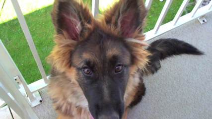 Von Willnic German Shepherds - Dog and Puppy Pictures