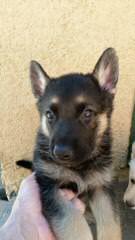 ALLE STERNE HAUS GERMAN SHEPHERDS - Dog Breeders