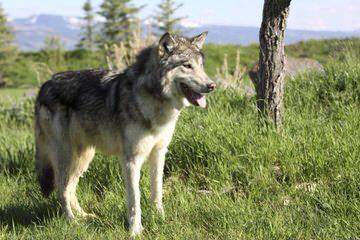 vom Wildweg German Shepherds - Dog Breeders