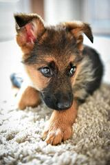 German Shepherds - Dog Breeders