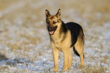 Dragon German Shepherd - Dog Breeders