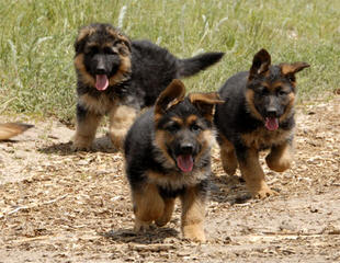 Hobbys Purebred Pets - Dog Breeders