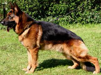 Old Fashion Large German Shepherd - Dog Breeders