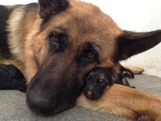 Hickeys German Shepherds - Dog Breeders