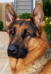 bj's akc germanshepherd puppies - Dog Breeders