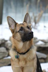 German Shepherds of Munster Abbey LLC - Dog Breeders