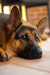 Peakes Brook German Shepherds - Dog Breeders