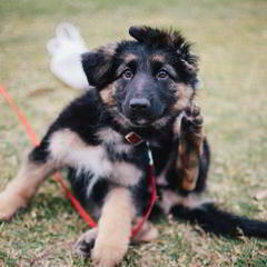 german shepherd - Dog Breeders