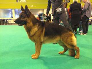 Calico Junction Long Coat German Shepherds - Dog Breeders