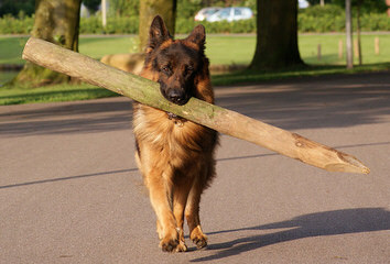 vom Wildweg German Shepherds - Dog Breeders