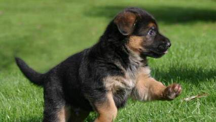 Ulvilden German Shepherds - Dog Breeders