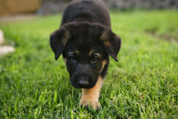 Purebred White German Shepherd Pups - Dog Breeders