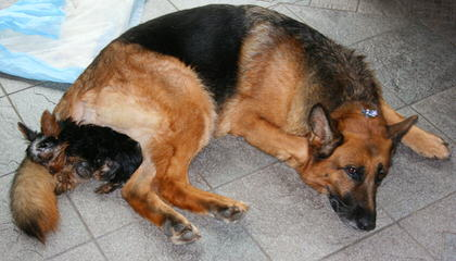Kyky's German Shepsky's - Dog Breeders