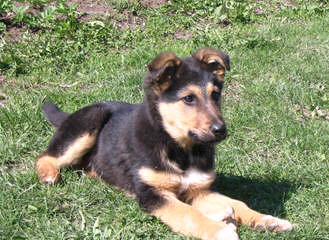 Wakita Shepherds - Dog Breeders