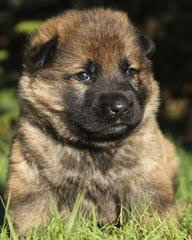 Sale German Shepherd Dogs - Dog and Puppy Pictures