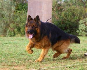 Ekhota German Shepherds - Dog Breeders