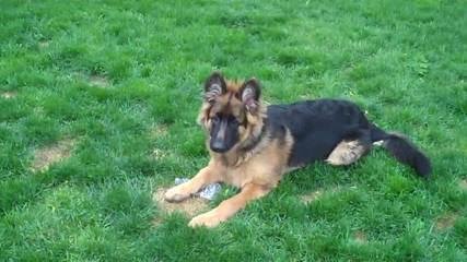 Vom Wanerhaus German Shepherd - Dog Breeders