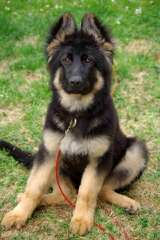 von wabo German Shepherds - Dog Breeders