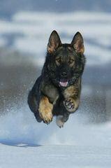Hillview Kennels - Dog Breeders