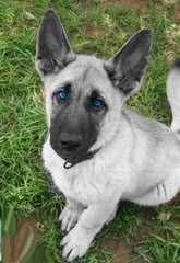 Calico Junction Long Coat German Shepherds - Dog Breeders