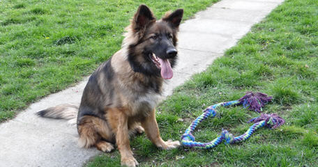 Seeking King Shepherd Stud - Dog Breeders