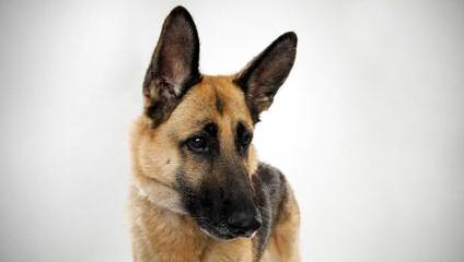 Camelot German Shepherds - Dog Breeders
