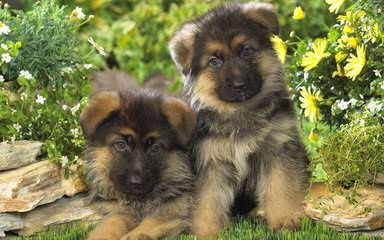 Gallant Edge German Shepherds - Dog Breeders