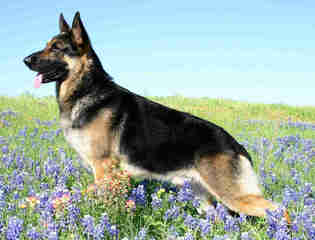 Vom Ron German Shepherds - Dog Breeders
