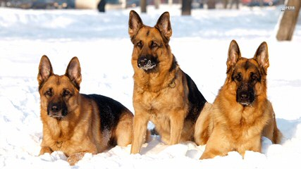 Von Willnic German Shepherds - Dog Breeders